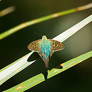 A long-tailed skipper (Urbanus proteus) butterfly rests on a frond near the Cape Canaveral National Seashore in Florida.