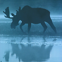 Moose in the mist.<br /> <br /> Canvas gallery wrapped print is 18x24&quot;.