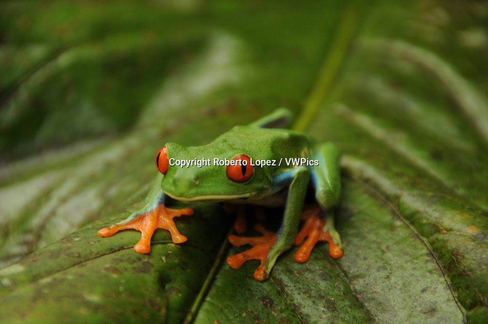 Also called Red Eyed Leaf Frog (Agalychnis Callidryas from the Order Anura) on top of a leaf at the Mawamba Lodge, Tortuguero, Costa Rica.