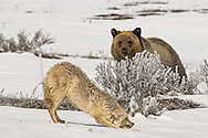 A male coyote, protecting his den, assumes an aggressive posture when approached by a sub-adult grizzly bear.