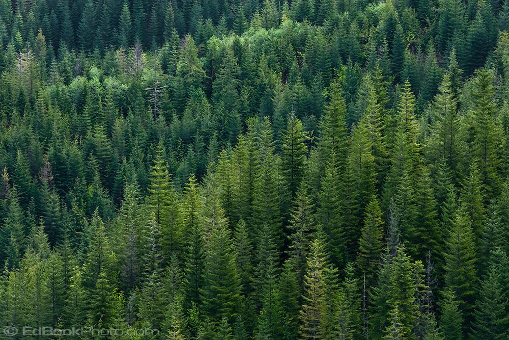 [Image: Douglas-Fir-forest-Olympic-NF-EdBook4235.jpg]