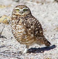 Owl; Athene cunicularia molina