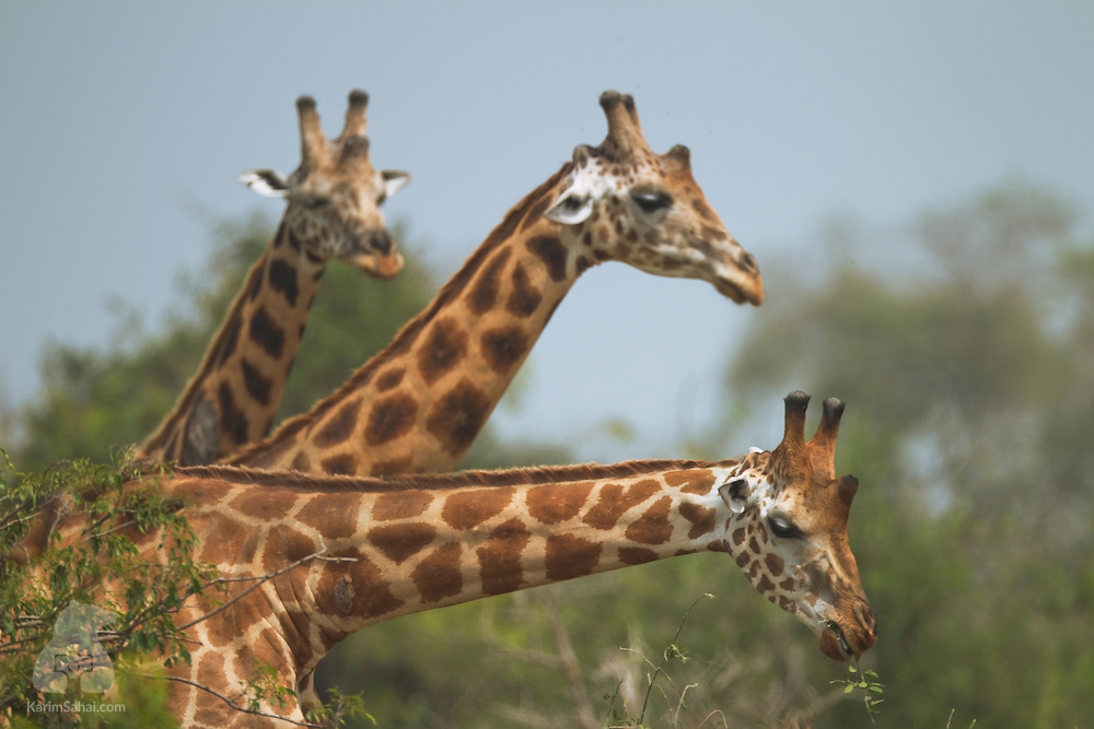 Three giraffes at Queen Elizabeth National Park, Uganda