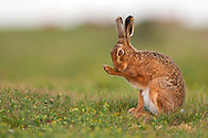 European Hare (Lepus europaeus) adult, sitting on grass track grooming, Norfolk, England