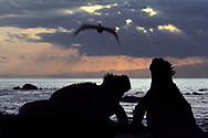 Marine iguanas, Amblyrhynchus cristatus, and brown pelican, Pelecanus occidentalis, Galapagos Islands