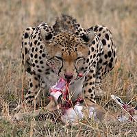 Cheetah ( acinonyx jubatus ) feeding on a Thomsons gazelle ( gazella thomsoni ) . Masai Mara National Park