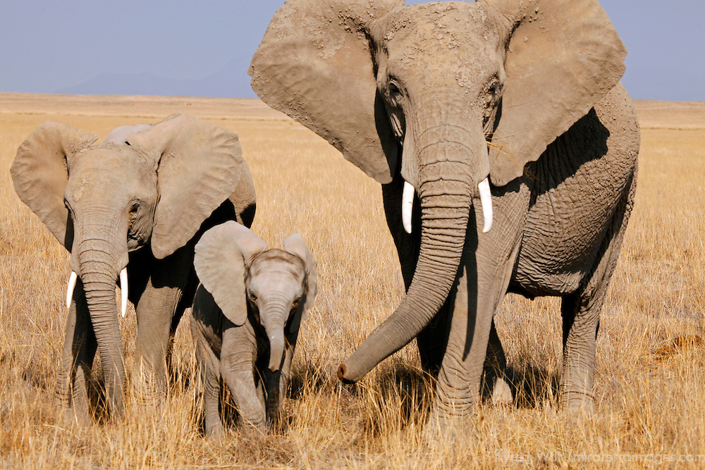 Africa, Kenya, Amboseli. A mother, daughter, and sister elephants.