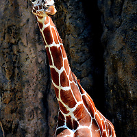 Reticulated Giraffe at Philadelphia Zoo in Philadelphia, Pennsylvania<br /> Meet Gus, a reticulated giraffe. His ancestors are from the savannas and grasslands of southern Africa. However, he is a native-born Texan from Caldwell Zoo. He now lives at the Philadelphia Zoo with his wife, Stella, and their daughter, Abigail or Abby for short. Together, this family weighs about 4,500 pounds. They spend half their day using their 18 inch tongues to strip leaves off trees. The rest of the time they take short catnaps while standing.