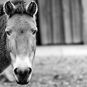 Soul Survival: Przewalski's horse (Scientific name: Equus ferus przewalskii)<br /> Endangered/Species Survival Plan