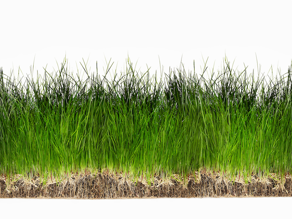 Grass growing on soil with exposed roots liam bailey for Lawn topsoil