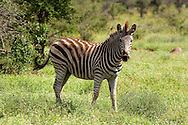 Burchell's Zebra (Equus burchelli)<br /> SOUTH AFRICA: Mpumalanga Province<br /> Kruger National Park; near Satara Camp area<br /> 13-15.Jan.2006<br /> J.C. Abbott #2222
