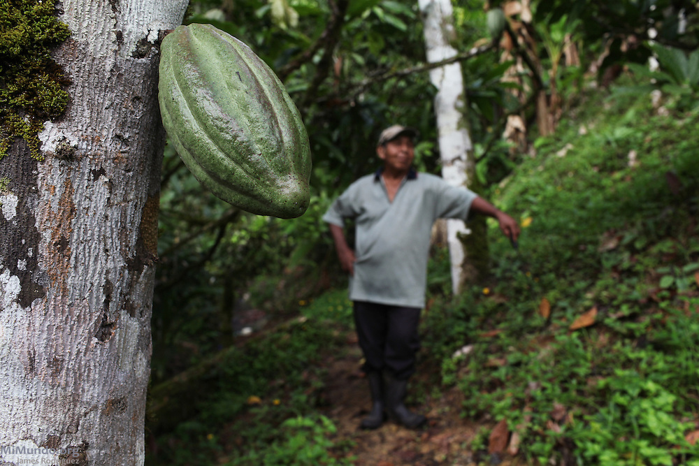 In the forefront, a cocoa pod. While José Abrego, a Ngäbe indigenous man and member of COCABO, takes a break from weeding out his cacao trees in the background. COCABO: Junquito, Almirante, Changuinola, Bocas del Toro, Panamá. September 1, 2012.