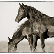 Two Young Wild Mustangs, McCullough Peaks Herd, Wyoming
