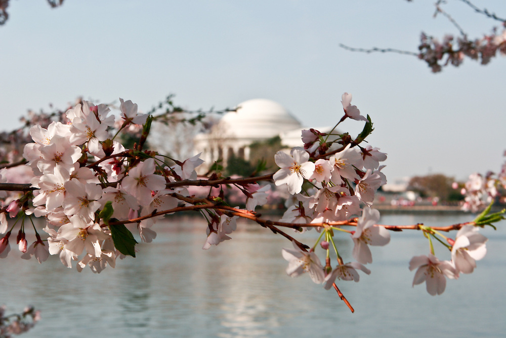 Cherry blossoms frame the Jefferson Monument.