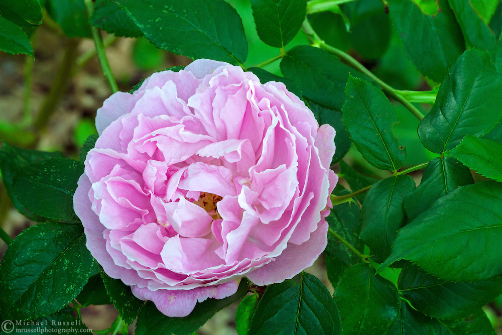 "'Mary Rose' - a ""David Austin Rose"" flowering during the spring in a backyard rose garden"