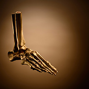 An educational anatomical foot model