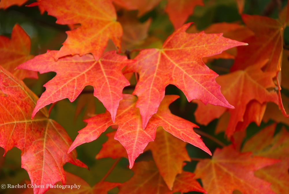 &quot;Maple Abundance&quot;<br /> <br /> Lovely maple leaves in full autumn glory!