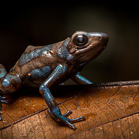 Bluish morph of the green and black poison dart frog, Dendrobates auratus, in Cocobolo Nature Reserve, Panama