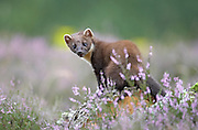 Pine marten (Martes martes) in flowering heather, Cairngorms National Park, Scotland.