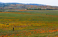"A photographer walks through a field with a few California poppies remain on Friday March 2015 at the Antelope Valley California Poppy Reserve in Lancaster, California. The state parks department says the reserve had the densest native poppy germination anyone had seen in a decade. Then came an unseasonal heat wave last week. The agency says it all but ""cooked away"" the poppies, turning those on the south slope into shriveled orange petals before they had a chance to go to seed."