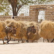 A man drives a group of donkeys who carry large loads of hay on their backs in Mao, Kanem region, Chad on Monday February 13, 2012.