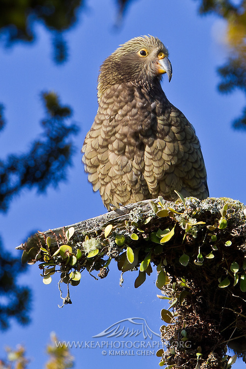 Kea, West Coast, New Zealand