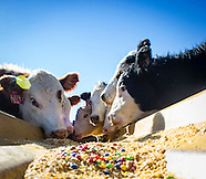 Cattle eating Candy as feed supplement