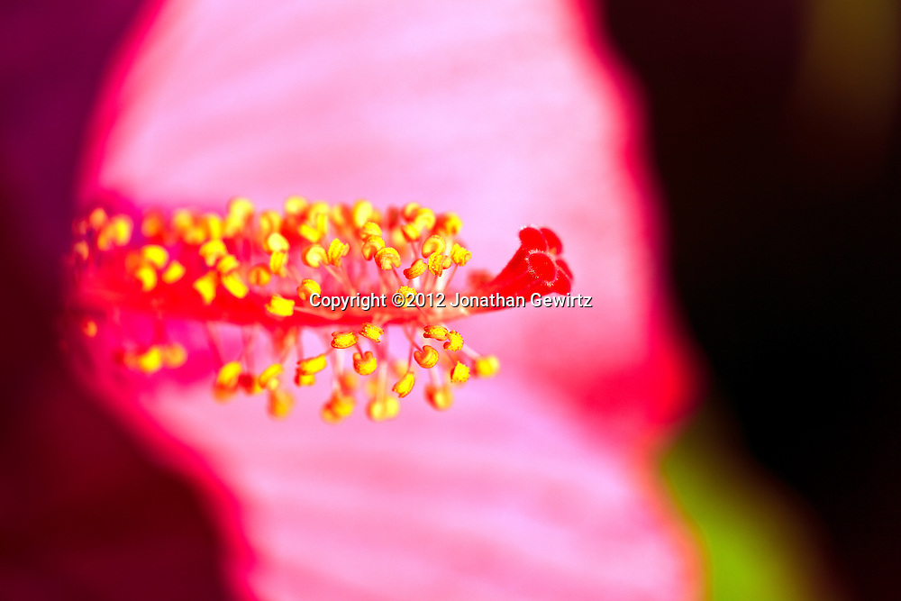 Closeup view of the stamens and pistil of a red Hibiscus flower. WATERMARKS WILL NOT APPEAR ON PRINTS OR LICENSED IMAGES.