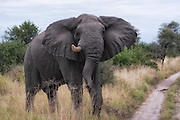 The Old Warrior, single tusked elephant, Tarangire National Park, Tanzania.