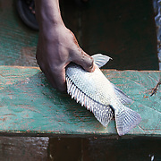 Augustino Ssekisaka takes a Nile perch off of his line caught during his daily outing to Lake Victoria. Here in Ggaba, a small town in southern Uganda that almost entirely subsists on the fishing industry, the locals have contributed to the dangerous overfishing of the lake despite strict regulations from Tanzania, Uganda, and Kenya. Fishermen continue to keep fish that are far below the required minimum weight and employ dymanite and poison.