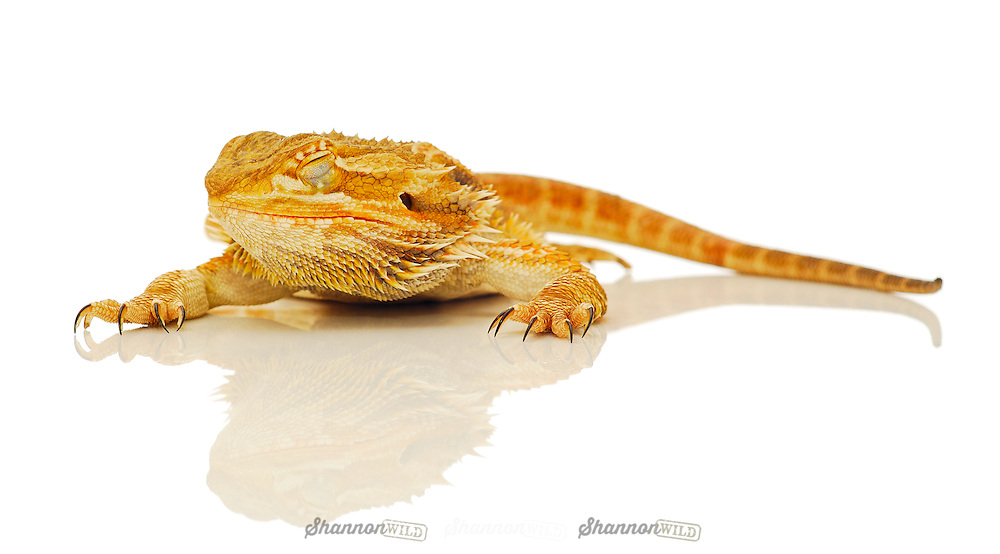 Sleeping Yellow Phase Central Bearded Dragon (Pogona vitticeps), also known as the Inland Bearded Dragon. Female.