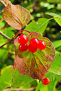 Closeup of High-Bush Cranberry (Viburnum edule) fruit in Chugach State Park, Eagle River in Southcentral Alaska. Fall. Morning.