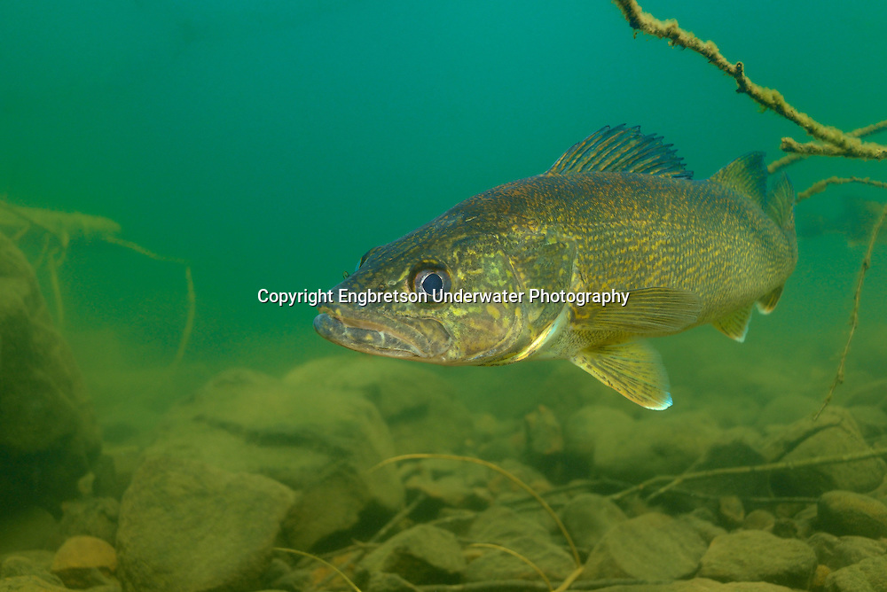 Walleye<br />