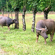 Buffaloes near rice farm Vangviang
