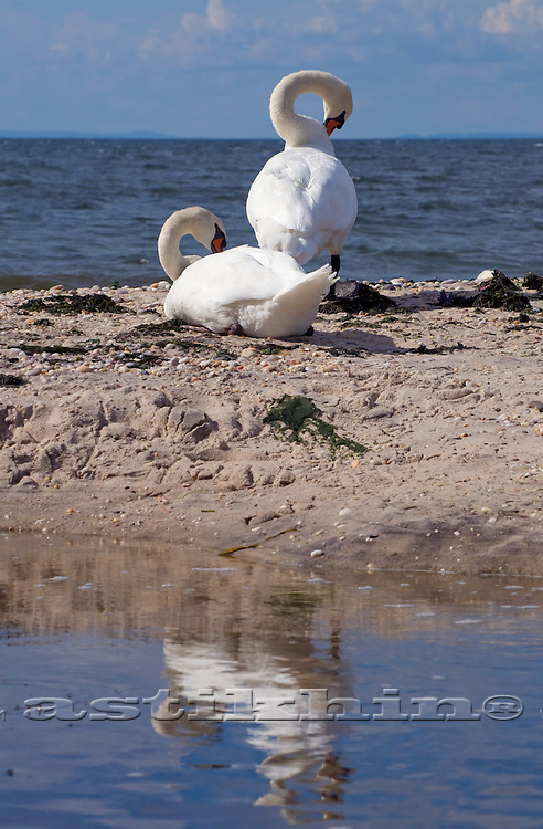 Two Swans on the beach