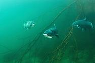 Bighead Carp<br /> <br /> Viktor Vrbovsky/Engbretson Underwater Photography