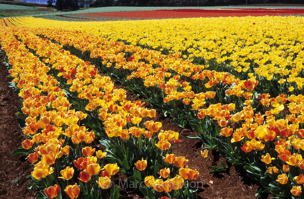 Rows of yellow & orange tulips, Table Cape Tulip Farm, Tasmania