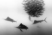 México, Quintana Roo, Isla Mujeres. A Group of Sailfish eating from a baitball of sardines.