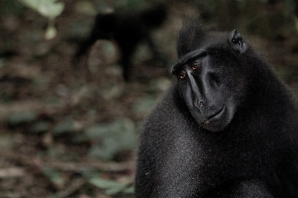 Crested black macaques - Macaca nigra - in north Sulawesi