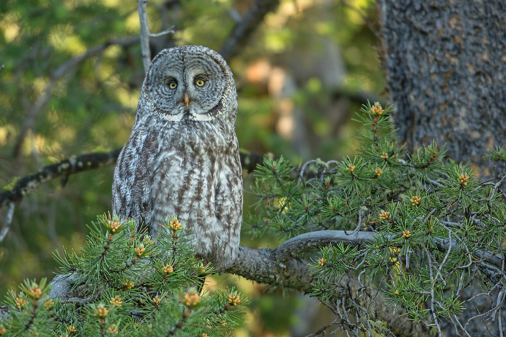 """The great grey owl is one of the world's largest owls. Like most owls, the great grey is active at night, but prefers hunting in the early morning or late afternoon. Gliding through the forest on silent wingbeats, one can understand why this owl is often called the """"Phantom of the North""""."""