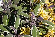 Sage herb in garden
