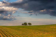 Corn growing in Dane County Wisconsin.