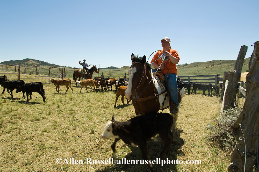 Teenage Cowgirl ropes and drags calves to fire at branding, east of Miles City, Montana