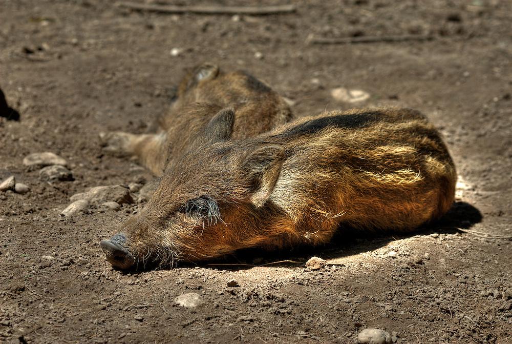 Wild boar (Sus scrofa) piglets sleep in dried mud wallow.