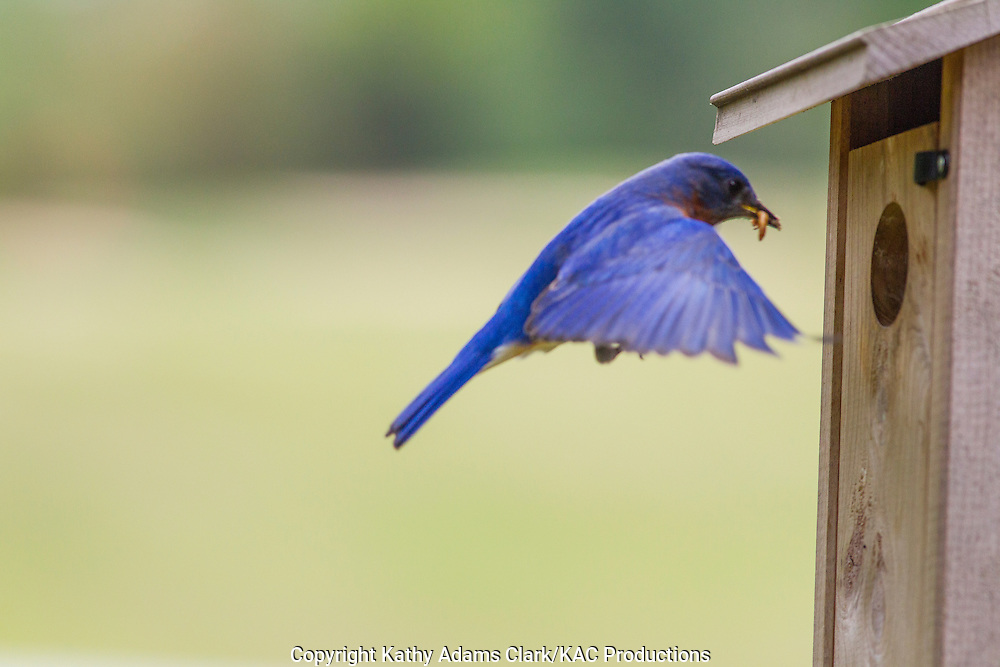 Eastern bluebird at a nest box, The Woodlands, Texas, spring.