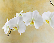 Fine art photograph of elegant white orchid