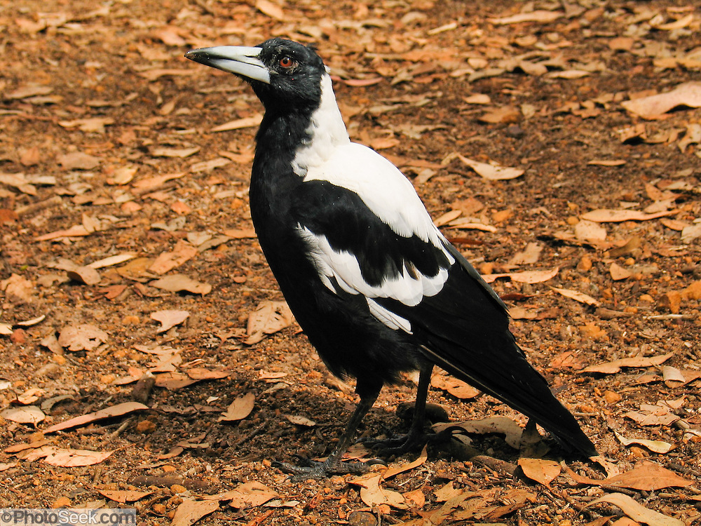 """The Australian Magpie (Gymnorhina tibicen) is a vocally-talented, medium-sized black and white bird native to Australia and southern New Guinea. A member of the Cracticidae family, it is closely related to the butcherbirds. It is a passerine bird (Passeriformes, the order of perching birds, less accurately known as """"songbirds""""). The Australian Magpie is omnivorous, mostly eats invertebrates, and is territorial throughout its widespread range. It is a familiar bird of parks, gardens, and farmland in Australia and New Guinea. Magpies were introduced into New Zealand in the 1860s and have become a pest by displacing native birds. Introductions were also made to the Solomon Islands and Fiji. Photo is from Western Australia."""