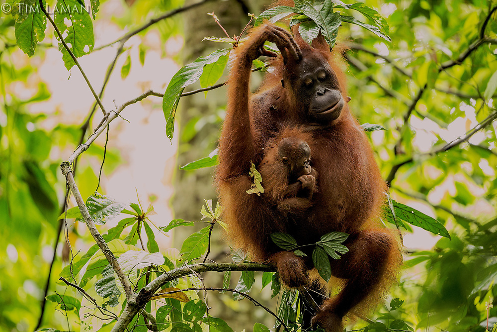 Adult female Walimah with one month old infant.<br /> Scratching head and looking down at baby.<br /> <br /> Bornean Orangutan <br /> Wurmbii Sub-species<br /> (Pongo pygmaeus wurmbii)<br /> <br /> Gunung Palung Orangutan Project<br /> Cabang Panti Research Station<br /> Gunung Palung National Park<br /> West Kalimantan Province<br /> Island of Borneo<br /> Indonesia