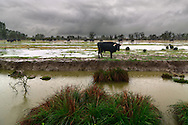 A typical view of inland Camargue: marshes, small streams, sparse trees and... herds of wild bulls!.Taken under some pouring rain in the marshes around Aigues Mortes in Camargue, France