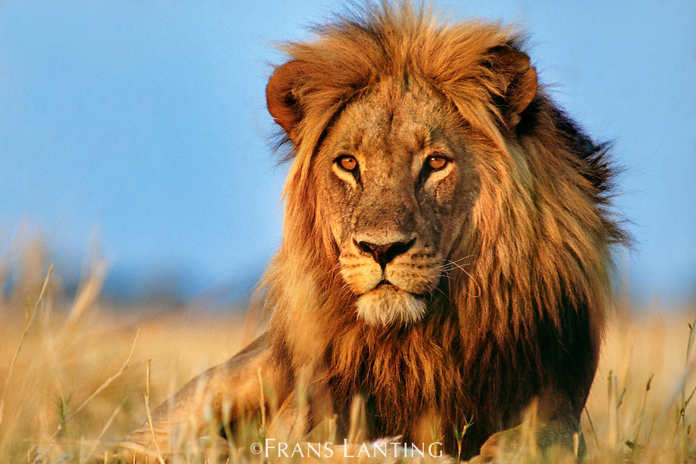 Lion, Panthera leo, Okavango Delta, Botswana